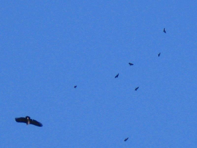 Especies protegidas en Robledo águilas y buitres volando